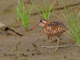 Greater Painted-snipe - female