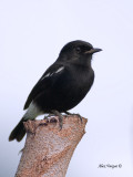 Pied Buschat - male