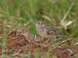 Oriental Skylark - in green