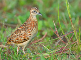 Small Buttonquail - alert