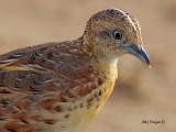 Small Buttonquail - portrait