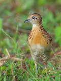 Small Buttonquail - front view