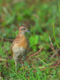 Small Buttonquail - profile