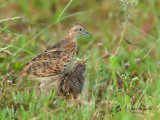 Small Buttonquail - with a chick