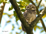 Spotted Owlet  - 2011 - 2