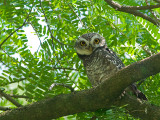 Spotted Owlet -- sp 129