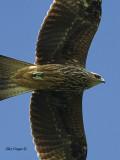 Black Kite - 2011 - flight crop