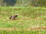 Greater Spotted Eagle - 2