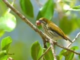 Yellow-vented Flowerpecker - fig feast