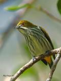 Yellow-vented Flowerpecker - looking