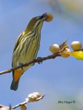 Yellow-vented Flowerpecker - juicy fig