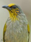 Stripe-throated Bulbul -- sp 66