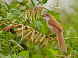 Yellow-eyed Babbler - on the beans - 2011