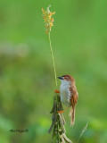 Yellow-eyed Babbler - on the flower - 2011