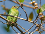 Blue-eared Barbet -- sp 21