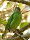 Moustached Barbet - look at me - 2011