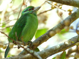 Moustached Barbet -- sp 27