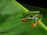 Red-eyed Gaudy Frog - dark eyes