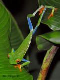 Red-eyed Gaudy Frog - on the move