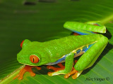 Red-eyed Gaudy Frog