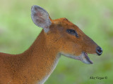 Red Muntjac - female  - 2010 - eating