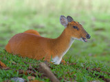 Red Muntjac - 2010 - female - laying down
