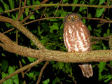 Brown Hawk-Owl - sp 303