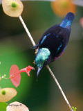 Purple-throated Sunbird - male - shinning