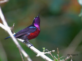 Purple-throated Sunbird - male - what's up