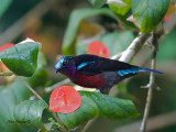 Purple-throated Sunbird - male - looking