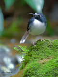 Slaty-backed Forktail - alert