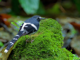 Slaty-backed Forktail - back view
