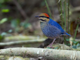 Blue Pitta - male - 2012 - 3