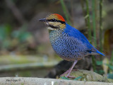 Blue Pitta - sp 217