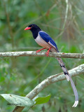 Red-billed Blue-Magpie - side look - 2012