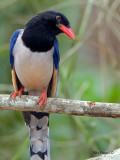 Red-billed Blue-Magpie - profile - 2012