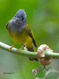 Grey-headed Canary-Flycatcher - 2012 - 4