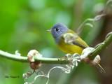 Grey-headed Canary-Flycatcher - 2012 - 3