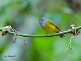 Grey-headed Canary-Flycatcher - 2012 - 2