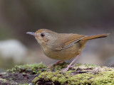 Buff-breasted Babbler -- sp 372