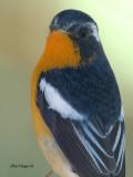 Mugimaki Flycatcher - male - portrait