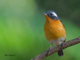 Mugimaki Flycatcher - male - sunny