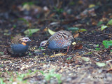 Rufous-throated Partridge - pair