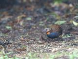 Rufous-throated Partridge - 2