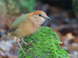 Rusty-naped Pitta -- Sp 251