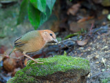 Rusty-naped Pitta - look down - 2012