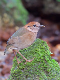 Rusty-naped Pitta - on the rock - 2012