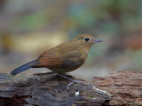 White-tailed Robin - female - 2012 - 2