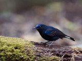 White-tailed Robin - male - 2012 - 2