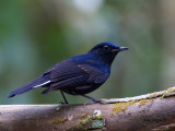 White-tailed Robin - male - 2012